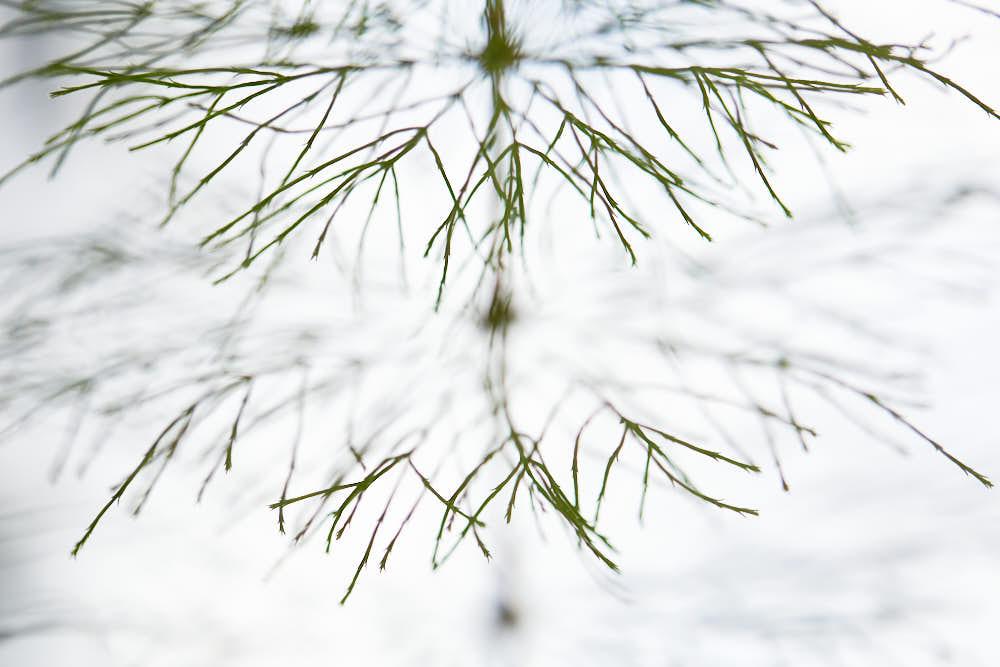 Schachtelhalm Naturfotografie von olbor Oliver Borchert aus Schwerin