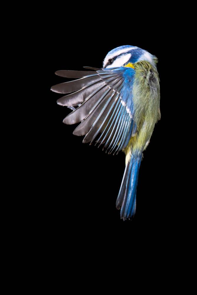 Blaumeise Naturfotografie von olbor Oliver Borchert aus Schwerin