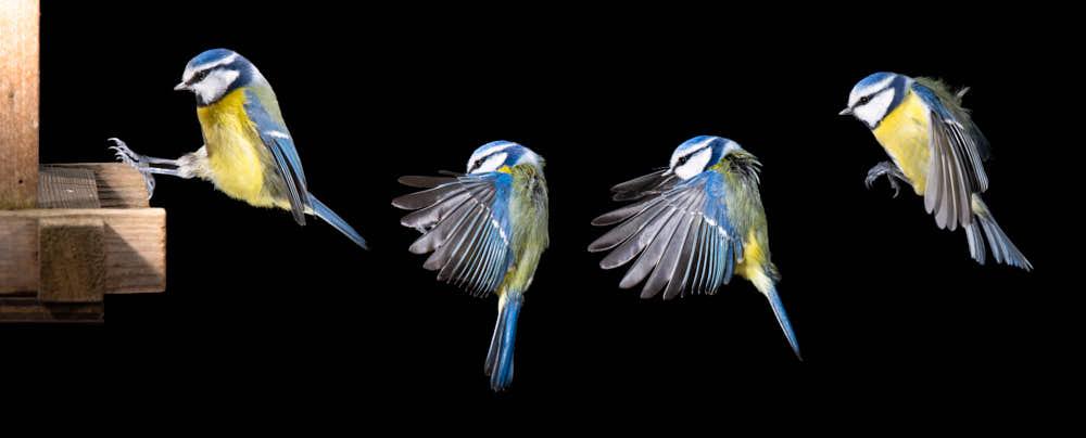 Blaumeise im Anflug Naturfotografie von olbor Oliver Borchert aus Schwerin