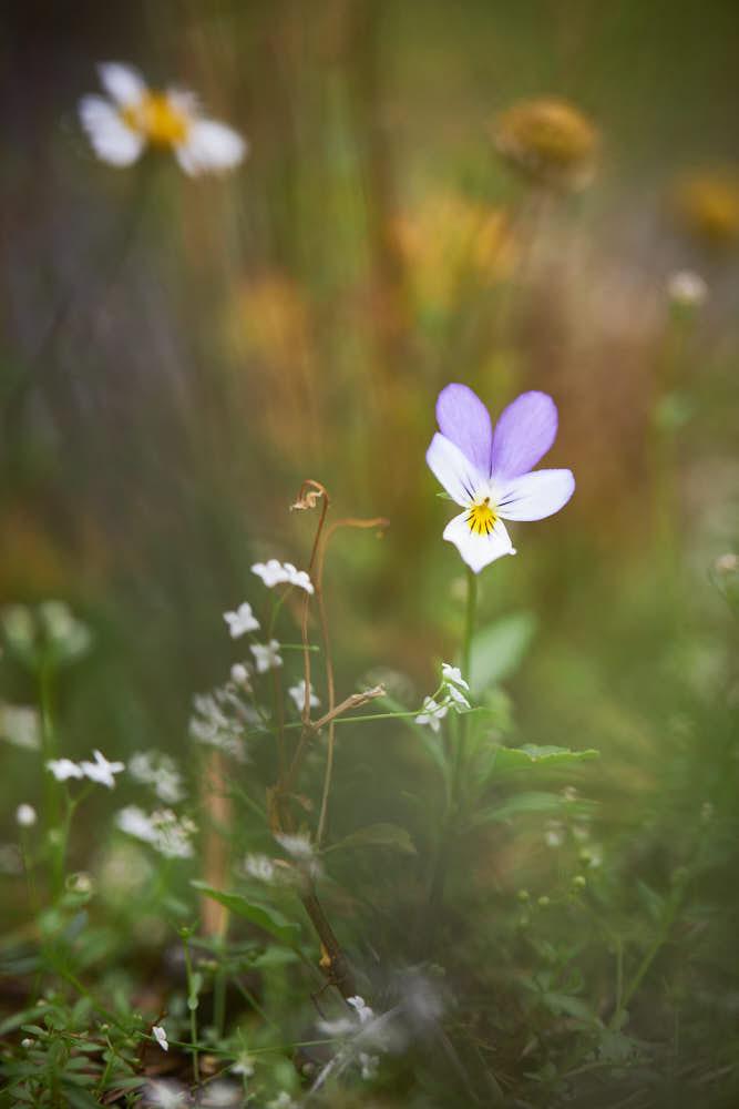 Veilchen, Naturfotografie von olbor Oliver Borchert aus Schwerin