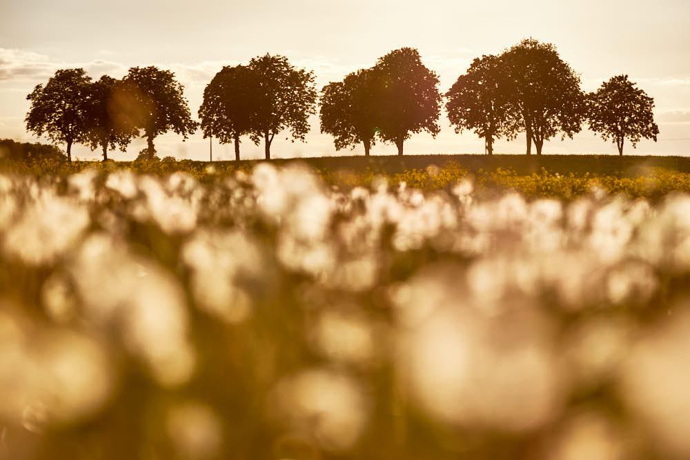 Rapsfeld, Naturfotografie von olbor Oliver Borchert aus Schwerin