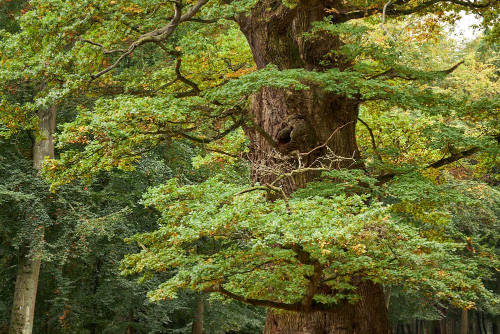 Ivenacker Eichen, Naturfotografie von olbor Oliver Borchert aus Schwerin