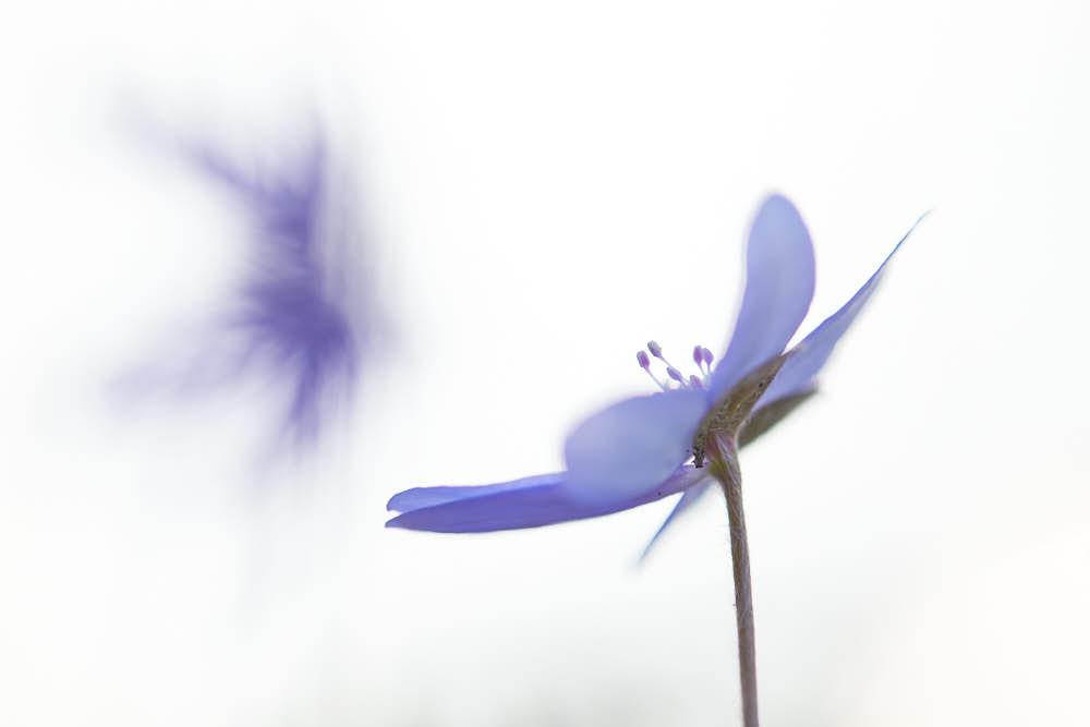 Leberblümchen, Naturfotografie von olbor Oliver Borchert aus Schwerin