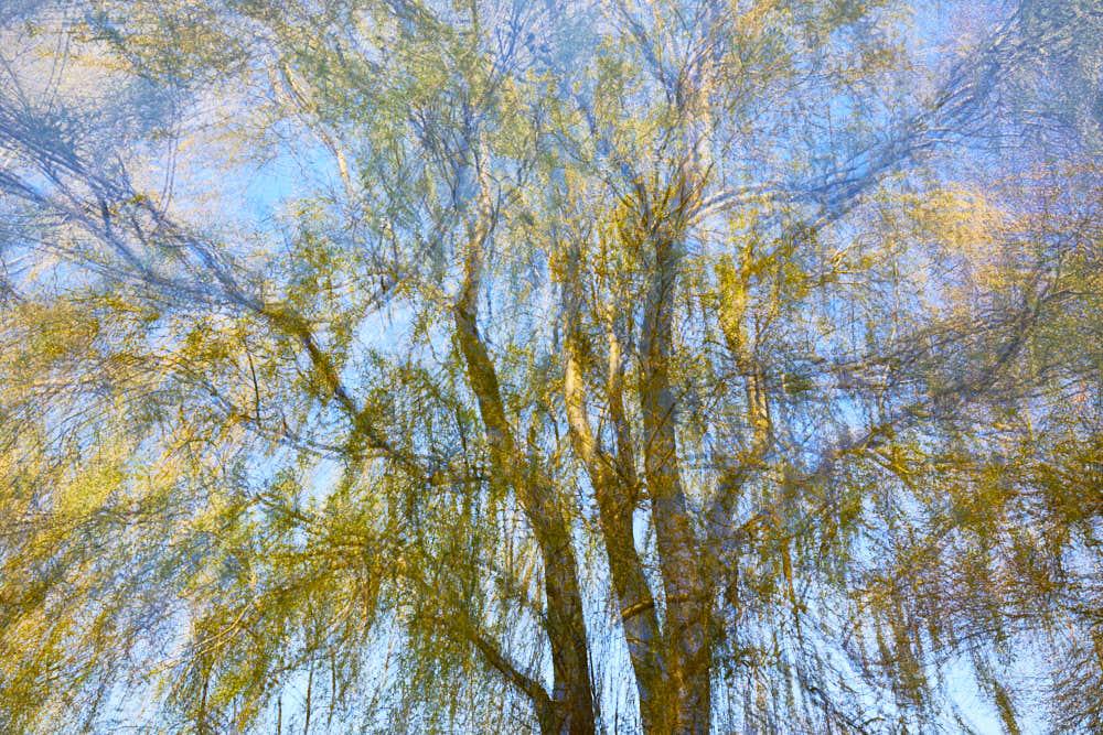 Weidenbaum, Naturfotografie von olbor Oliver Borchert aus Schwerin