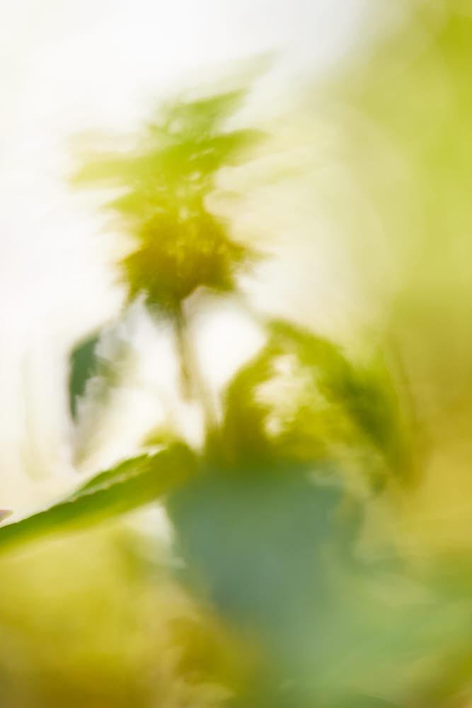 Goldnessel, Naturfotografie von olbor Oliver Borchert aus Schwerin