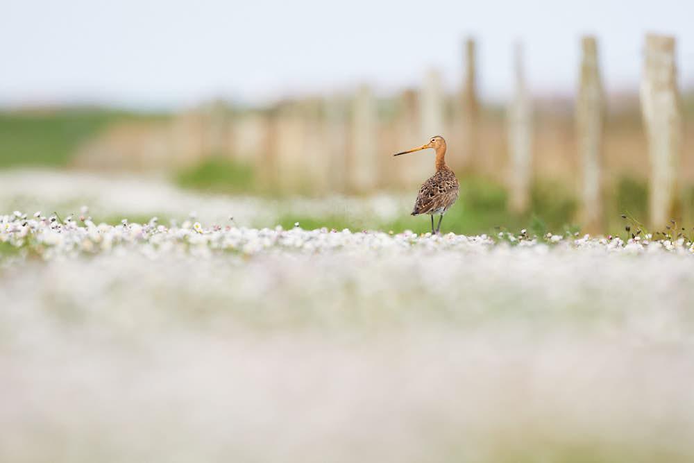 Uferschnepfe, Naturfotografie von olbor Oliver Borchert aus Schwerin