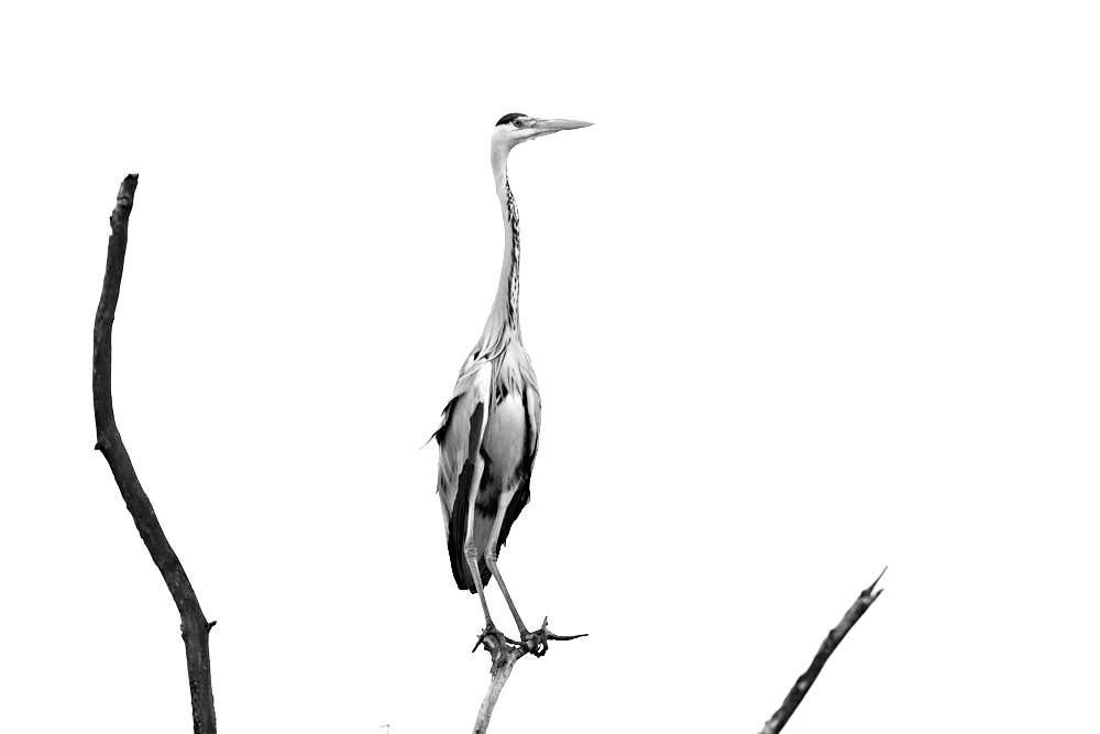Graureiher, Naturfotografie von olbor Oliver Borchert aus Schwerin