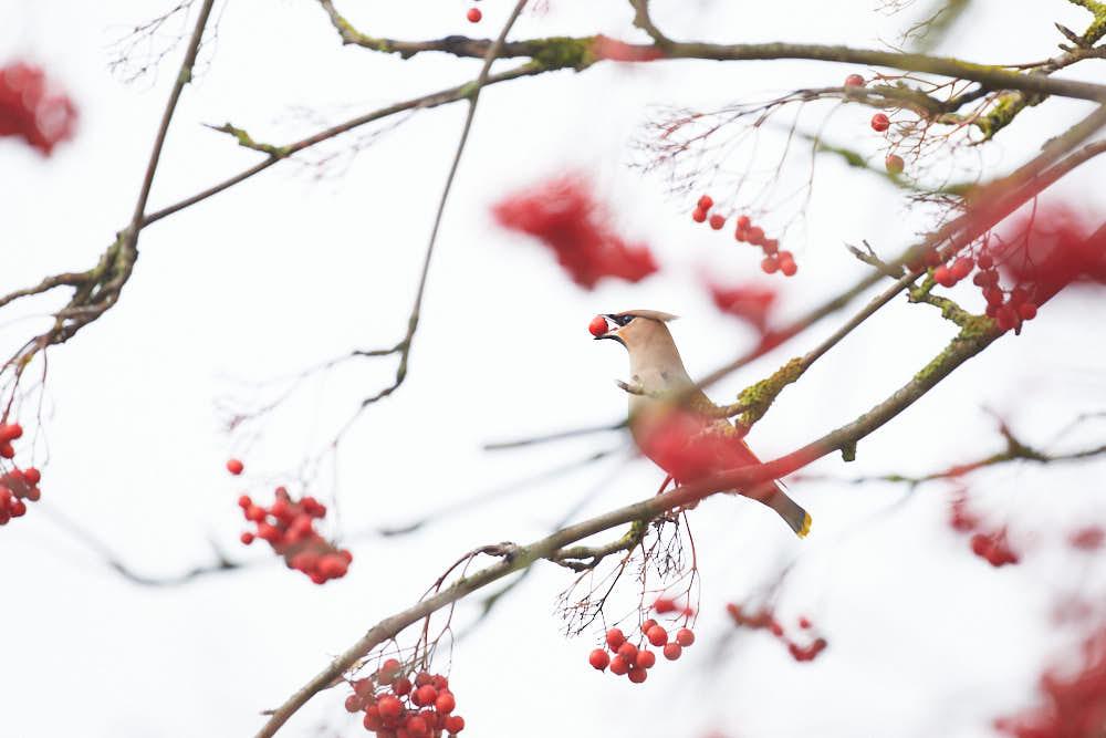Seidenschwanz, Naturfotografie von olbor Oliver Borchert aus Schwerin