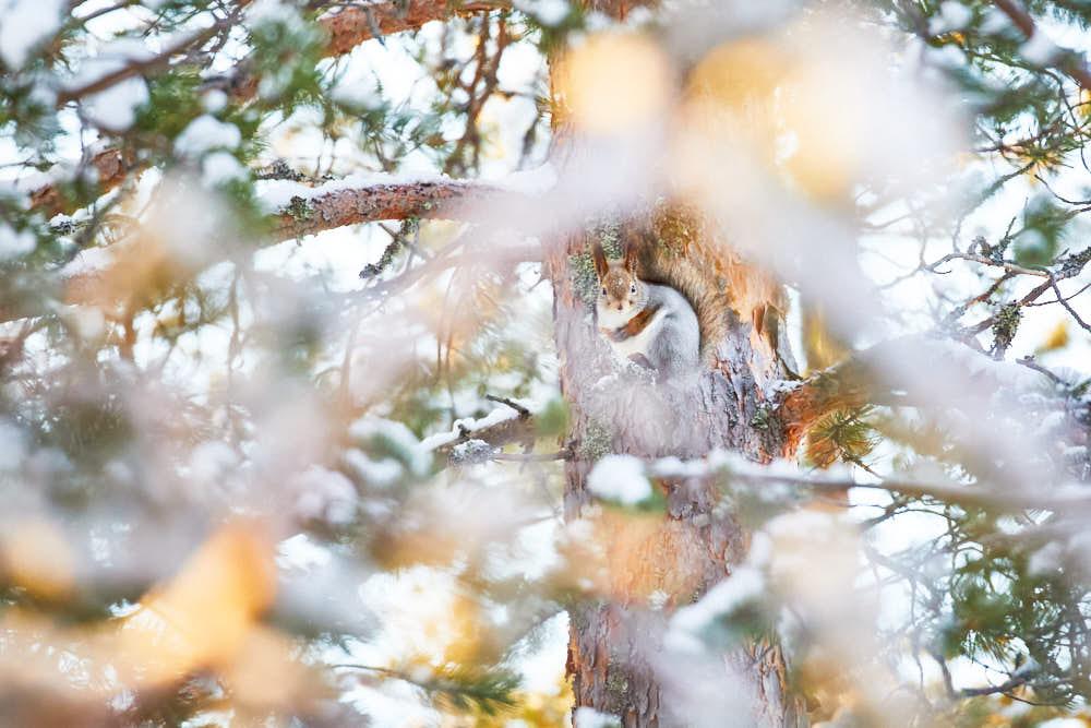 Eichhörnchen, Naturfotografie von olbor Oliver Borchert aus Schwerin