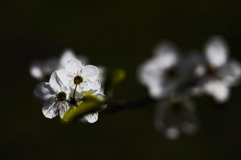 Frühlingsblüten, Naturfotografie von olbor Oliver Borchert aus Schwerin