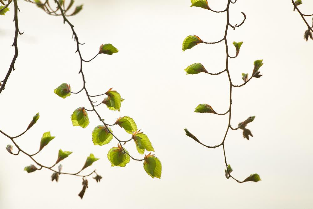 Buche, Blätter, Naturfotografie von olbor Oliver Borchert aus Schwerin