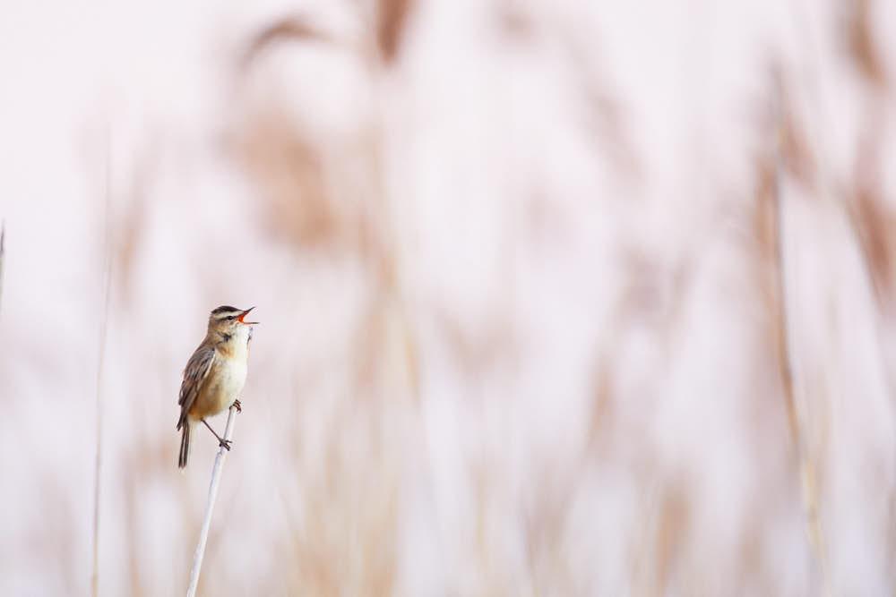 Schilfrohrsänger, Naturfotografie von olbor Oliver Borchert aus Schwerin