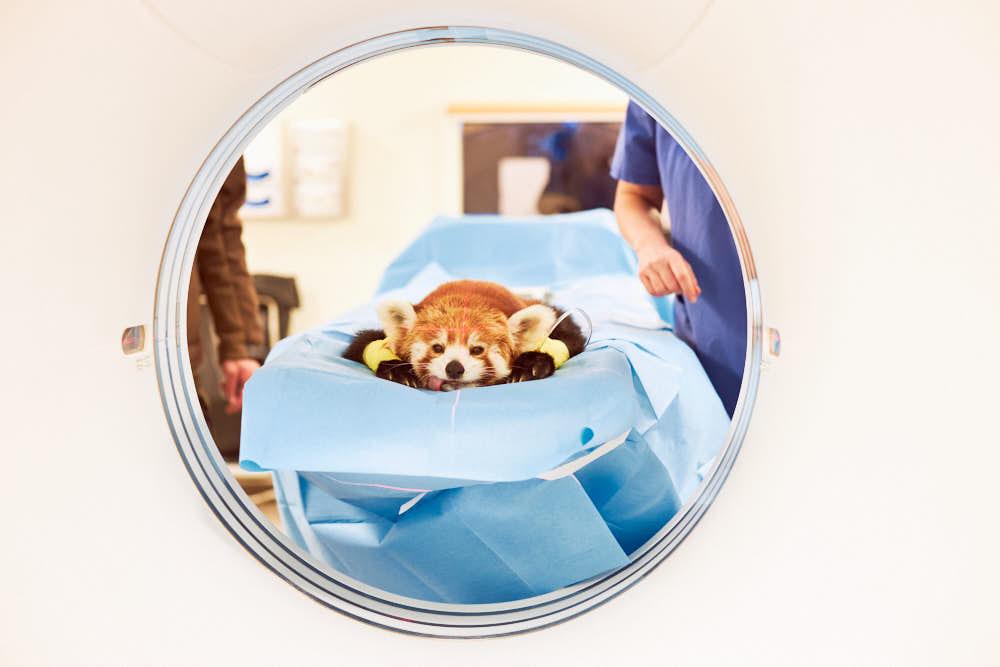 kleiner Panda, Zootier, Krankenhaus, CT