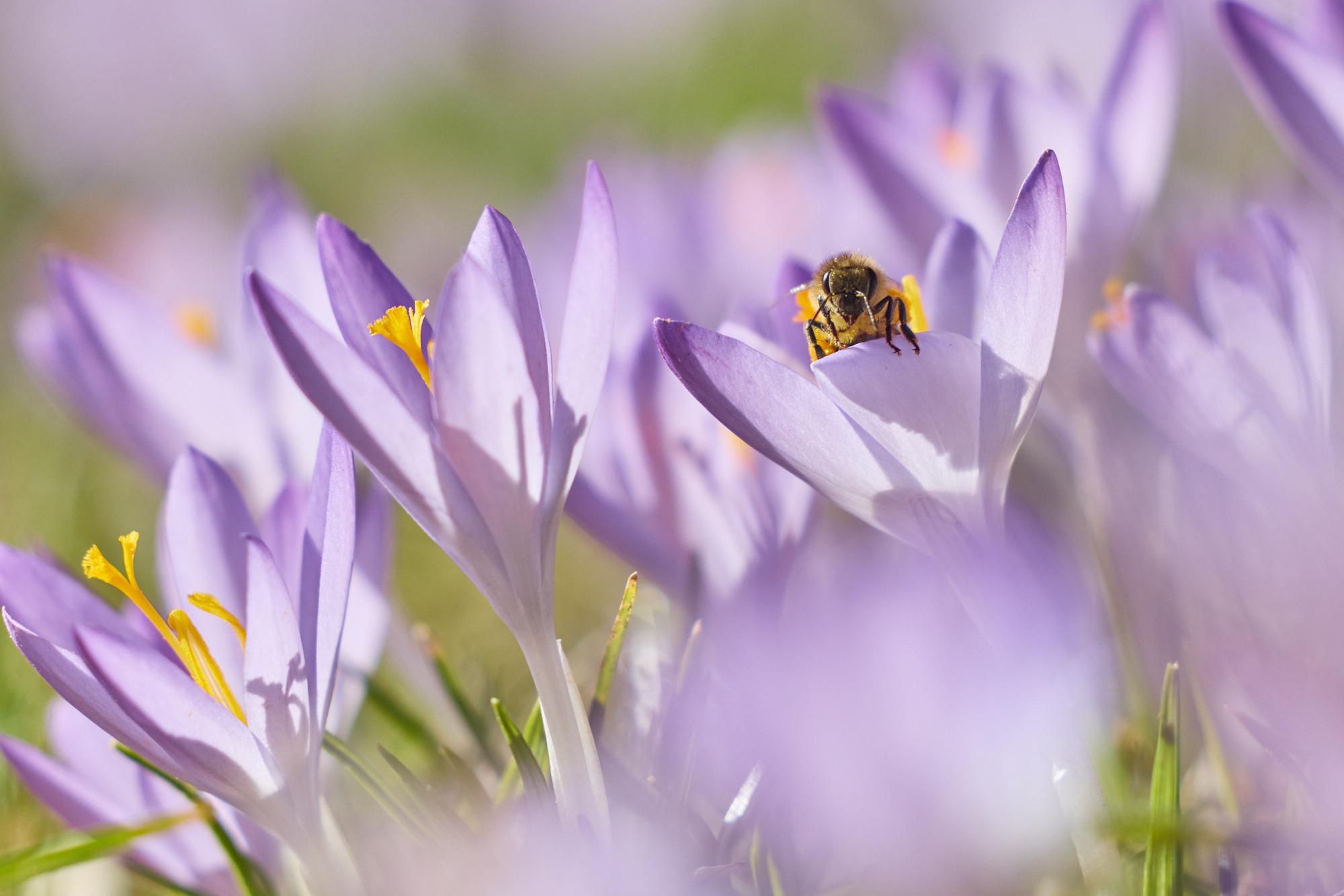 Biene, Honigbiene, Krokusse