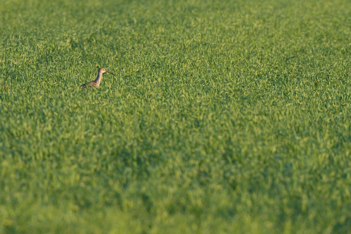 Großer Brachvogel (c) Oliver Borchert