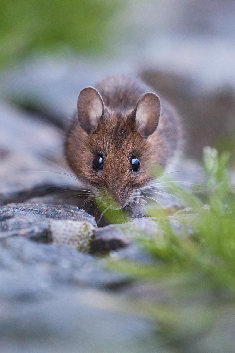 Maus, Waldmaus, Apodemus sylvaticus