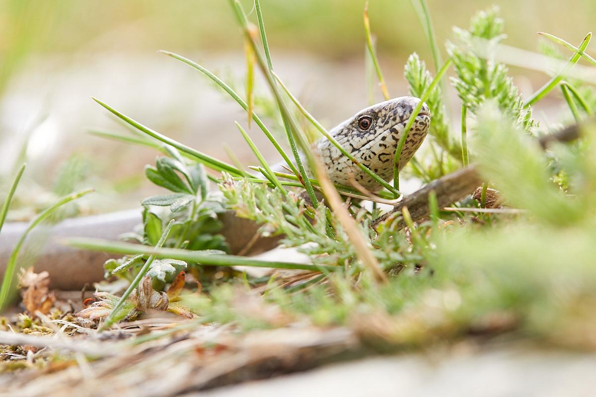 Blindschleiche, Anguis fragilis, im Naturentdeckerblog von Katharina von der Heide und Oliver Borchert