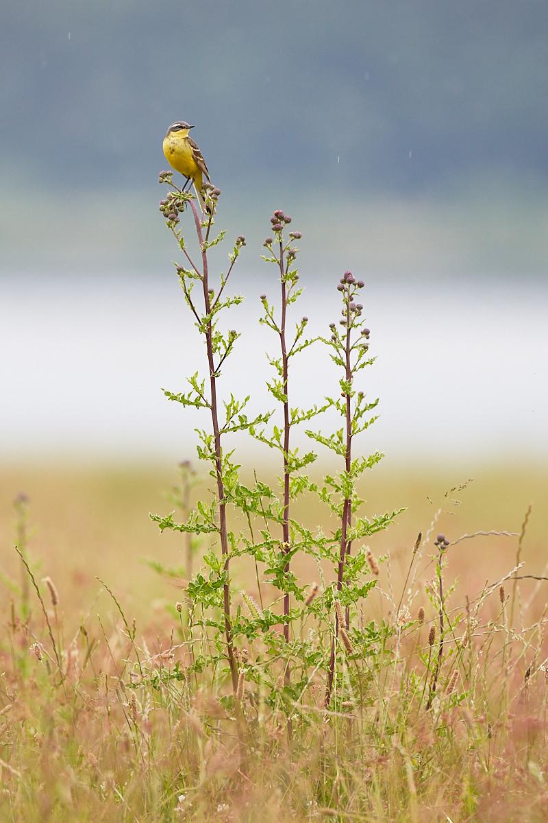 Schafstelze, Motacilla flava, im Naturentdeckerblog von Katharina von der Heide und Oliver Borchert