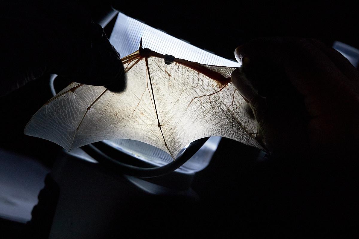 Teichfledermaus, Myotis dasycneme, im Naturentdeckerblog von Katharina von der Heide und Oliver Borchert